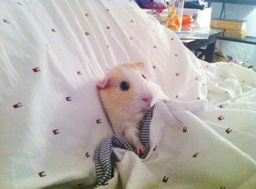 cute-animals-guinea-pig-tucked-up-bed-pics-934x[1]