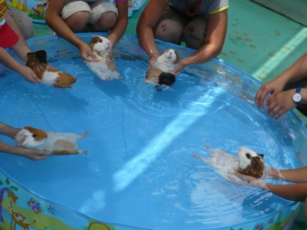 guinea_pig_pool_party-600x4501-620x[1]